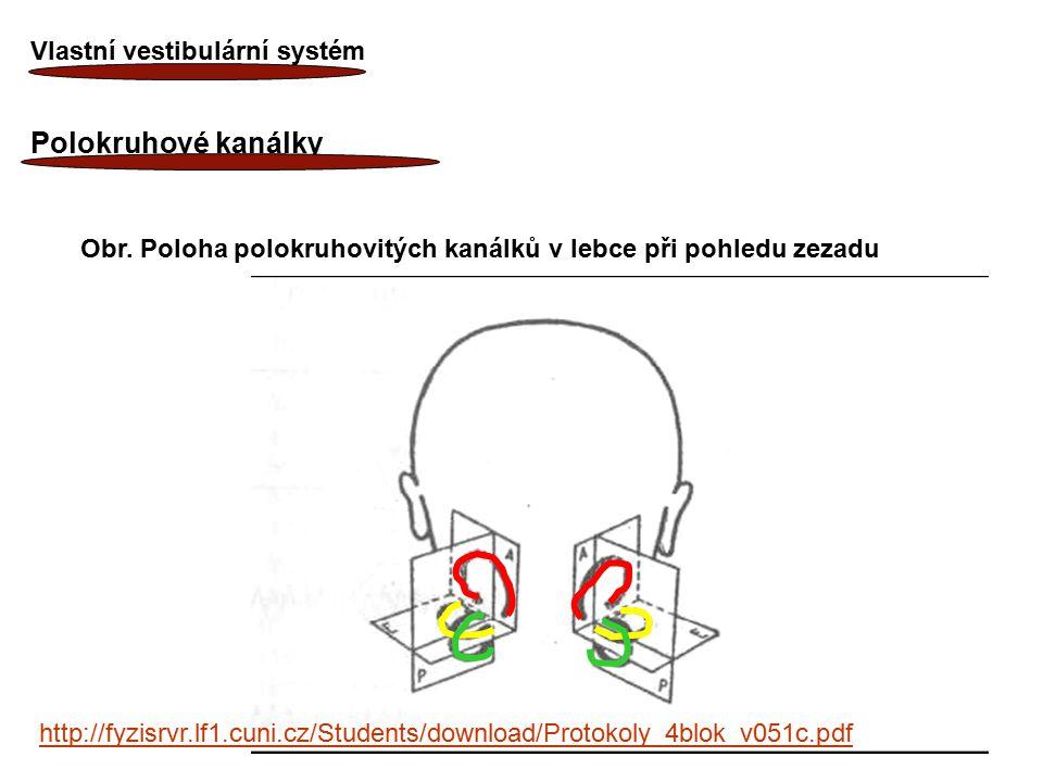 12 Vlastní vestibulární systém Polokruhové kanálky Obr. Poloha polokruhovitých kanálků v lebce při pohledu zezadu http://fyzisrvr.lf1.cuni.cz/Students