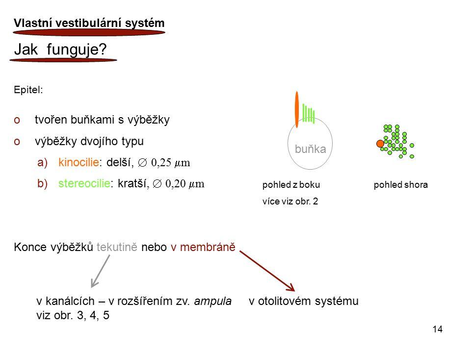 14 Vlastní vestibulární systém Jak funguje? Epitel: o tvořen buňkami s výběžky o výběžky dvojího typu a) kinocilie: delší,  0,25  m b) stereocilie: