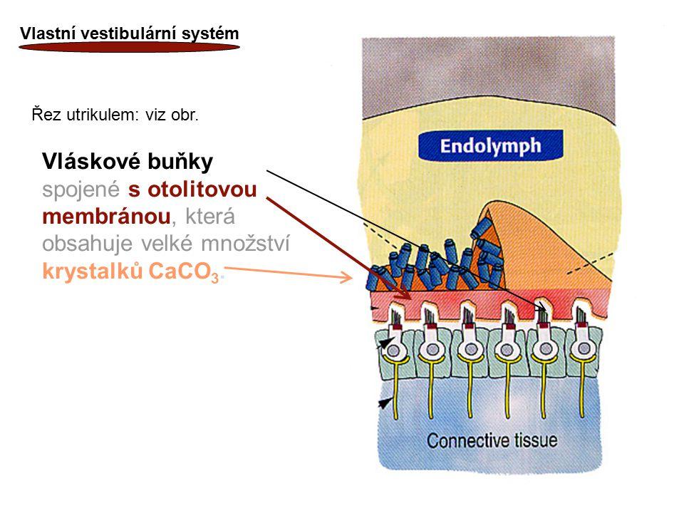 15 Vlastní vestibulární systém Vláskové buňky spojené s otolitovou membránou, která obsahuje velké množství krystalků CaCO 3. Řez utrikulem: viz obr.