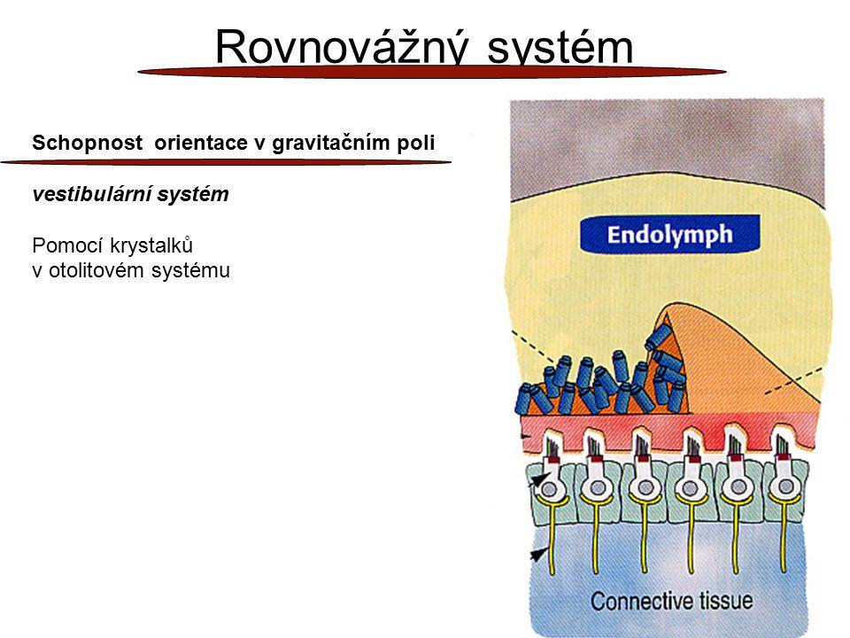 26 Rovnovážný systém Schopnost orientace v gravitačním poli vestibulární systém Pomocí krystalků v otolitovém systému
