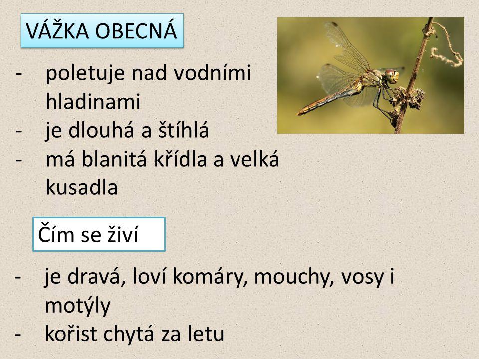 VÁŽKA OBECNÁ -poletuje nad vodními hladinami -je dlouhá a štíhlá -má blanitá křídla a velká kusadla Čím se živí -je dravá, loví komáry, mouchy, vosy i motýly -kořist chytá za letu