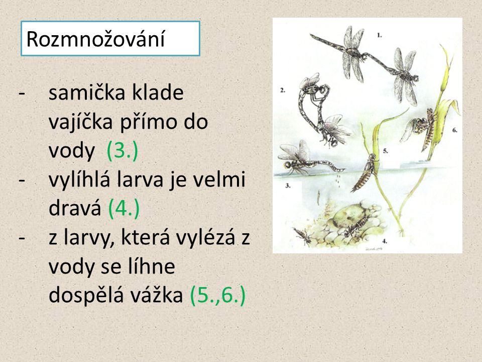 Rozmnožování -samička klade vajíčka přímo do vody (3.) -vylíhlá larva je velmi dravá (4.) -z larvy, která vylézá z vody se líhne dospělá vážka (5.,6.)
