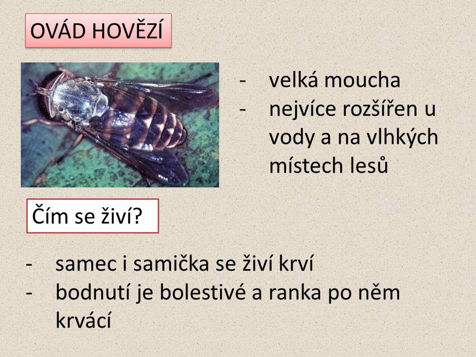 OVÁD HOVĚZÍ -velká moucha -nejvíce rozšířen u vody a na vlhkých místech lesů Čím se živí.