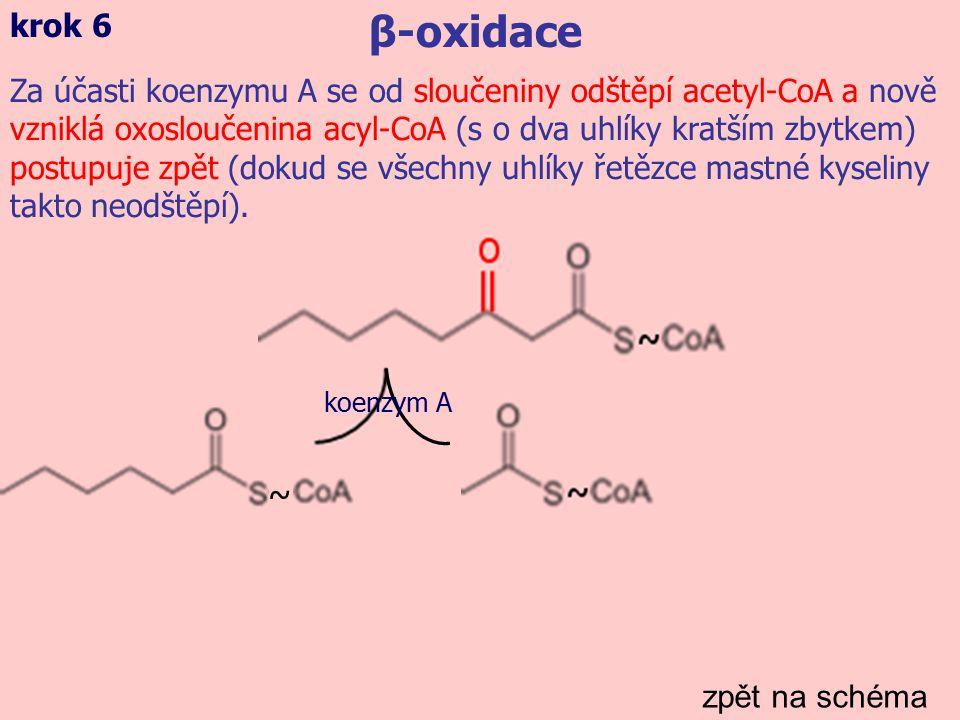 zpět na schéma β-oxidace krok 6 Za účasti koenzymu A se od sloučeniny odštěpí acetyl-CoA a nově vzniklá oxosloučenina acyl-CoA (s o dva uhlíky kratším zbytkem) postupuje zpět (dokud se všechny uhlíky řetězce mastné kyseliny takto neodštěpí).