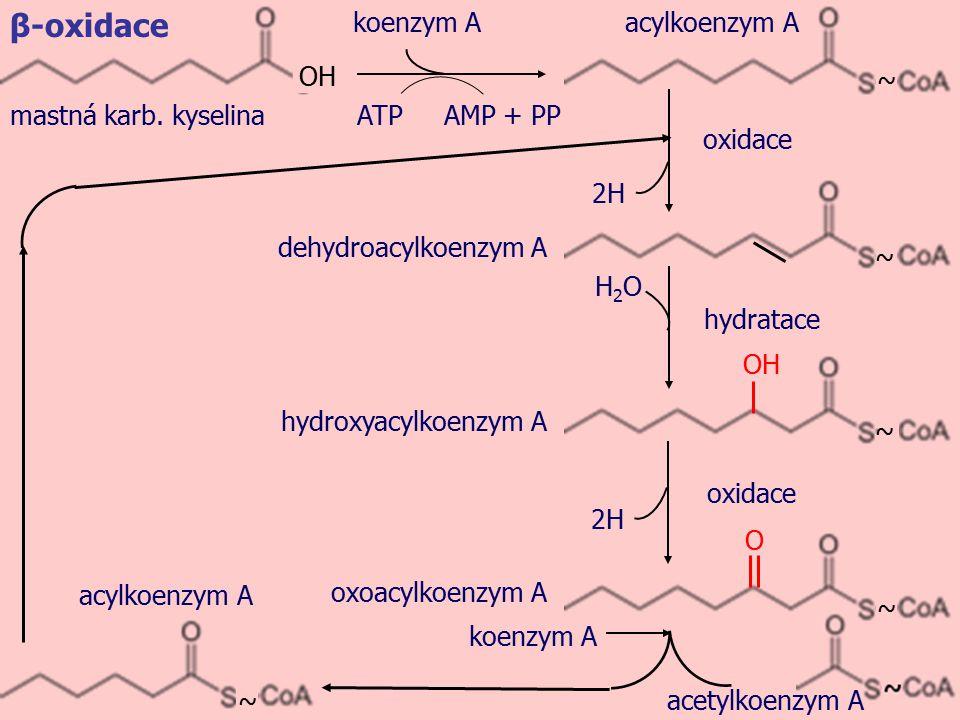 zpět na schéma Mastná kyselina se změní acyl-CoA-synthetasou na acyl-CoA (substituce hydroxylové skupiny za ~S-CoA).