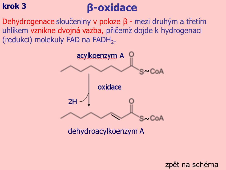 zpět na schéma β-oxidace krok 3 Dehydrogenace sloučeniny v poloze β - mezi druhým a třetím uhlíkem vznikne dvojná vazba, přičemž dojde k hydrogenaci (redukci) molekuly FAD na FADH 2.
