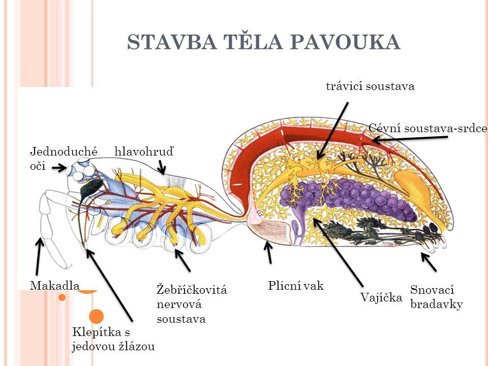 STAVBA TĚLA PAVOUKA Makadla Klepítka s jedovou žlázou Žebříčkovitá nervová soustava Plicní vak Vajíčka Snovací bradavky trávicí soustava Cévní soustav