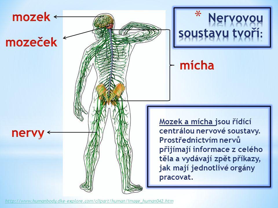 Mozek a mícha jsou řídící centrálou nervové soustavy.