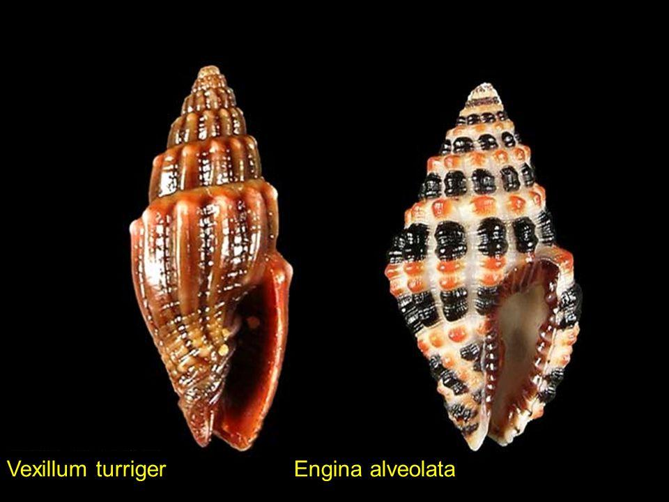Favartia maculataVexillum unifasciale