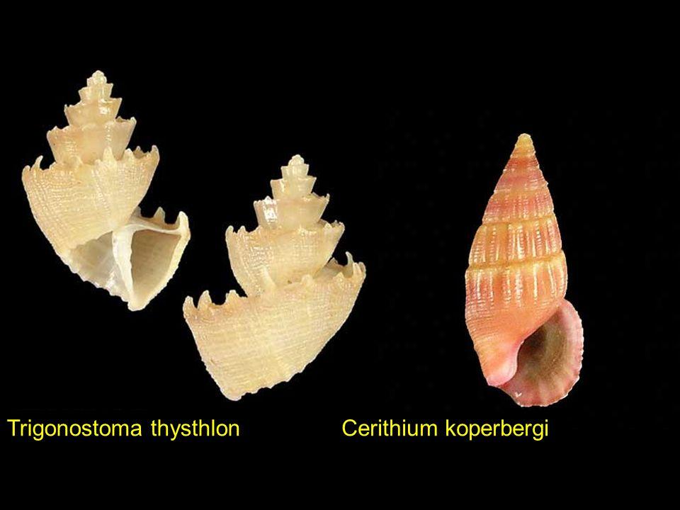 Corculum cardissaVexillum variatum