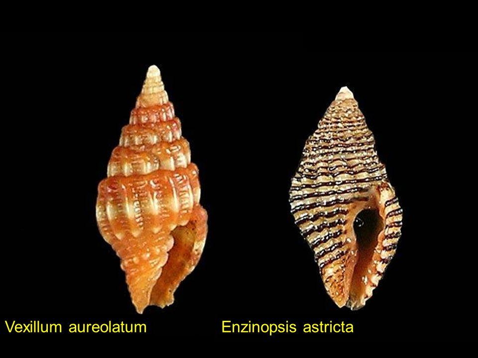 Cerithium lemniscatumBittium zebrum