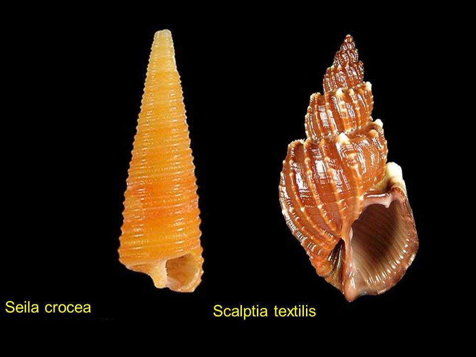Turrilatirus turritus Tectarius cumingii Vittina coromandeliana Tibia fusus fusus Vittina coromandeliana Pitar affinis