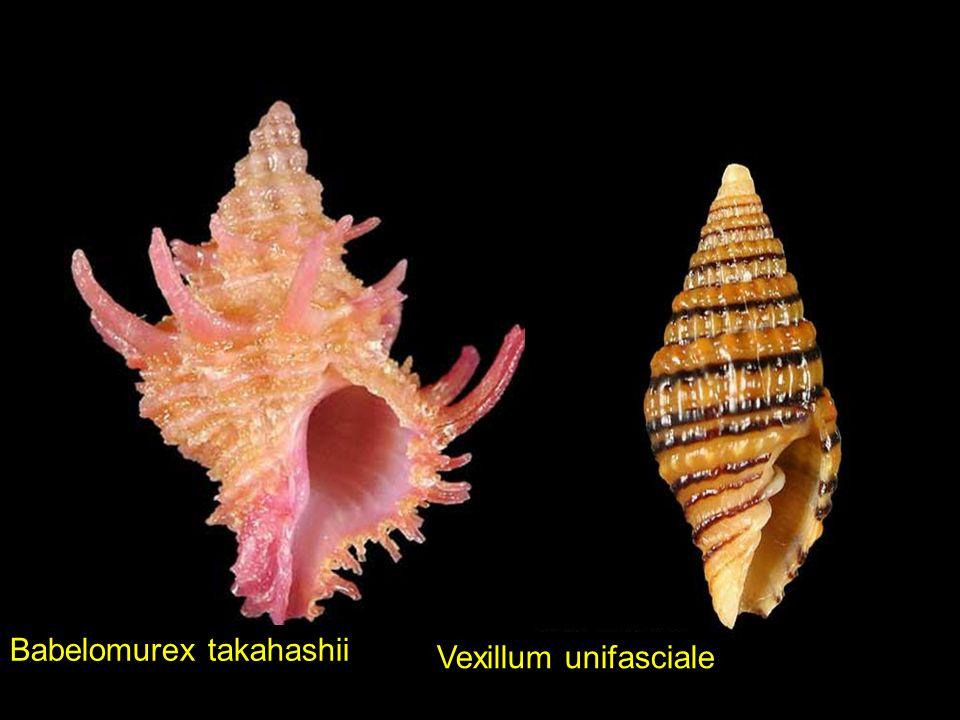 Aporrhais pesgallinaeJoculator albocincta