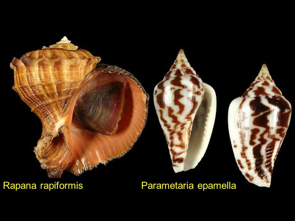 Cymbiola palawanica Pollia undosa