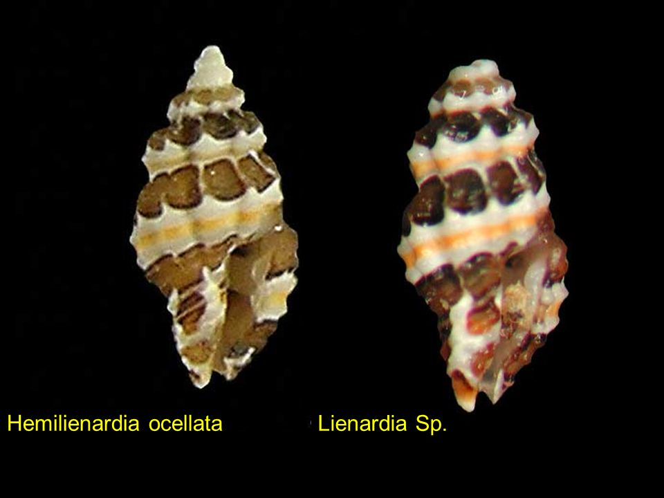 Littorina lineolata Jujubinus gilberti Imbricaria conularis