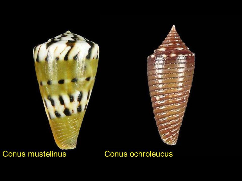 Conus articulatus Conus ammiralis