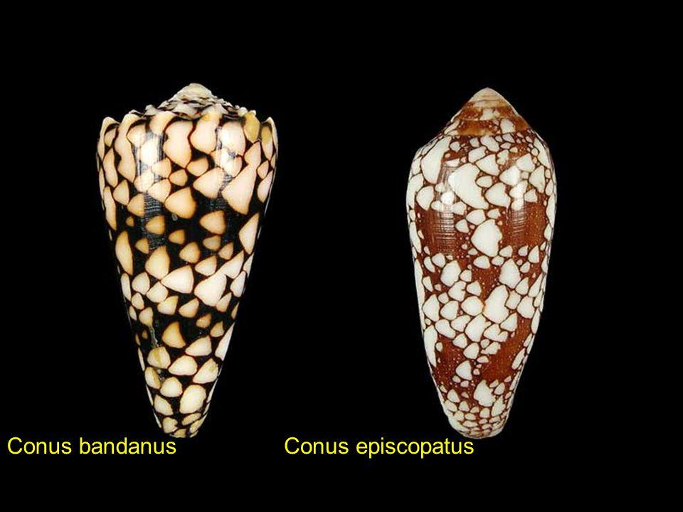 Conus marmoreusConus mercator