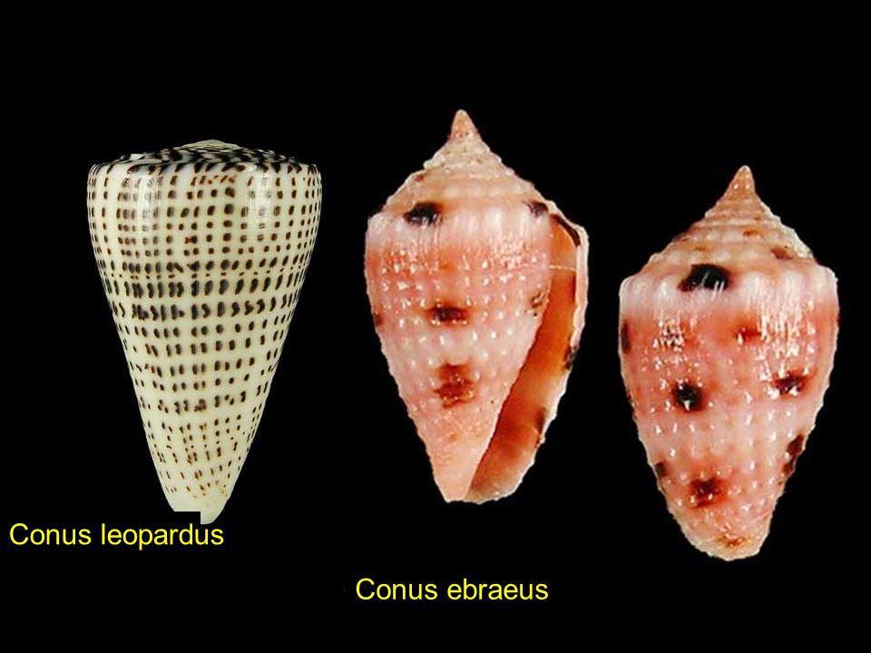 Conus bandanusConus episcopatus