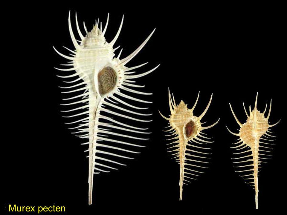 Hemilienardia ocellata Lienardia Sp.