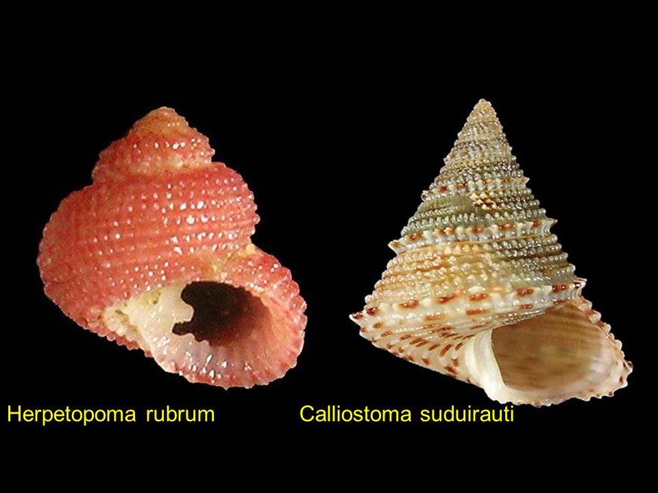 Scalptia textilisANGARIA VICDANI