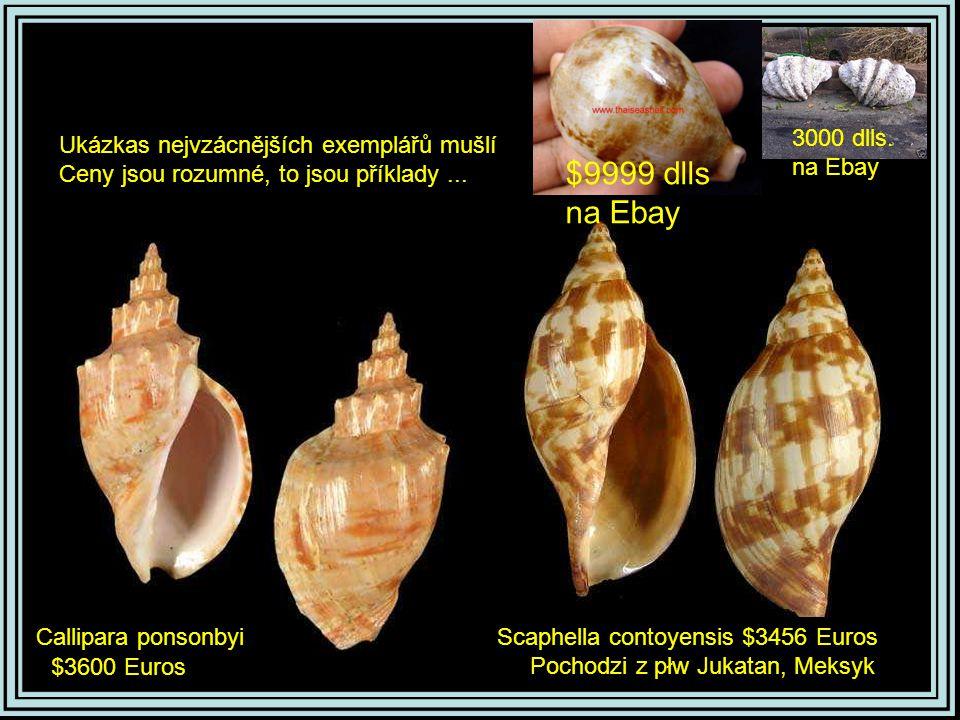 Trigonostoma thysthlonCardites ajar