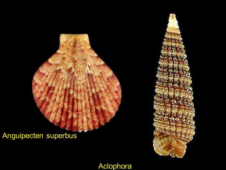 Haliotis varia Pilsbryspira albocinctaEquichlamys bifrons