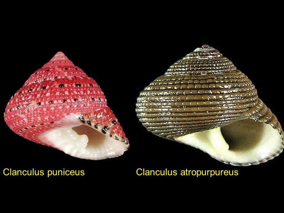 Cerithideopsilla cingulata