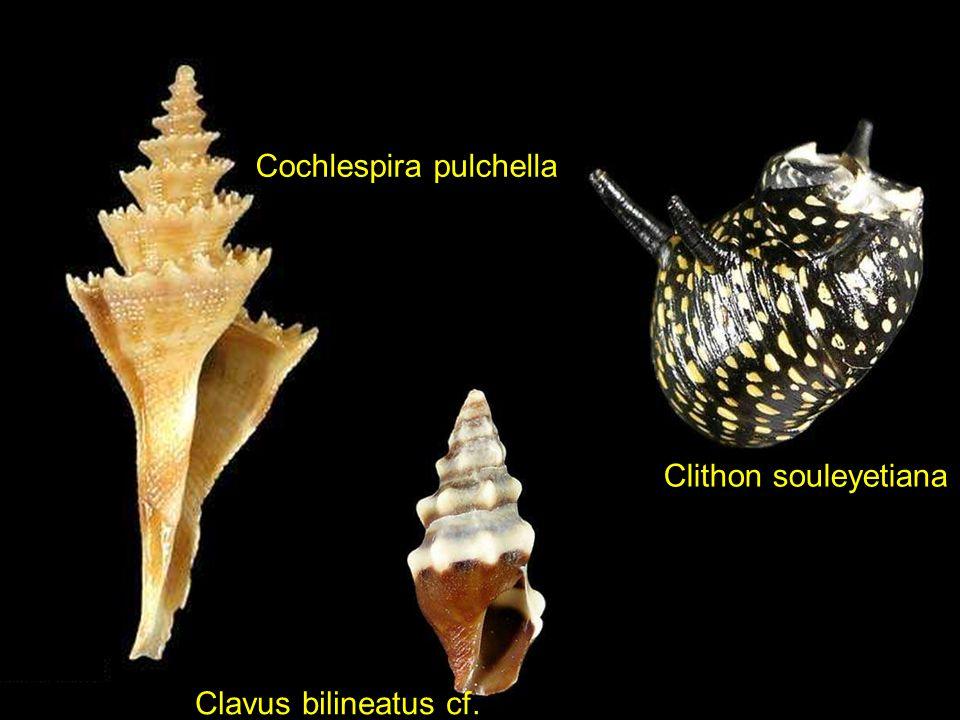 Clanculus atropurpureusClanculus puniceus