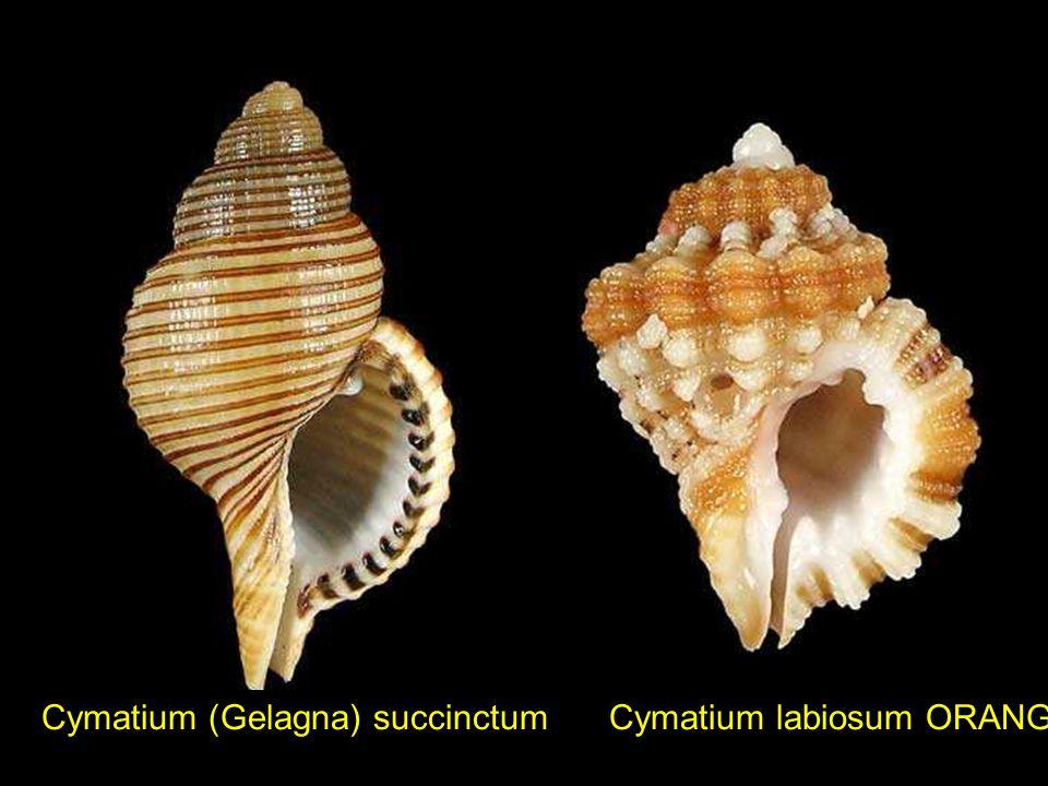 Clithon souleyetiana Cochlespira pulchella Clavus bilineatus cf.