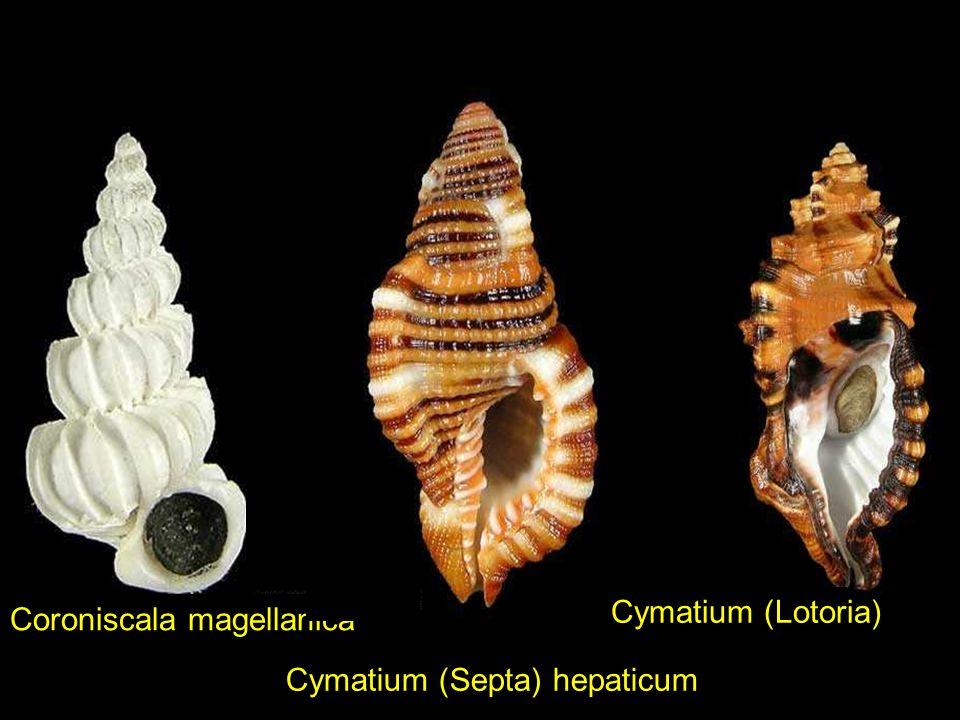 Cymatium (Gelagna) succinctumCymatium labiosum ORANGE