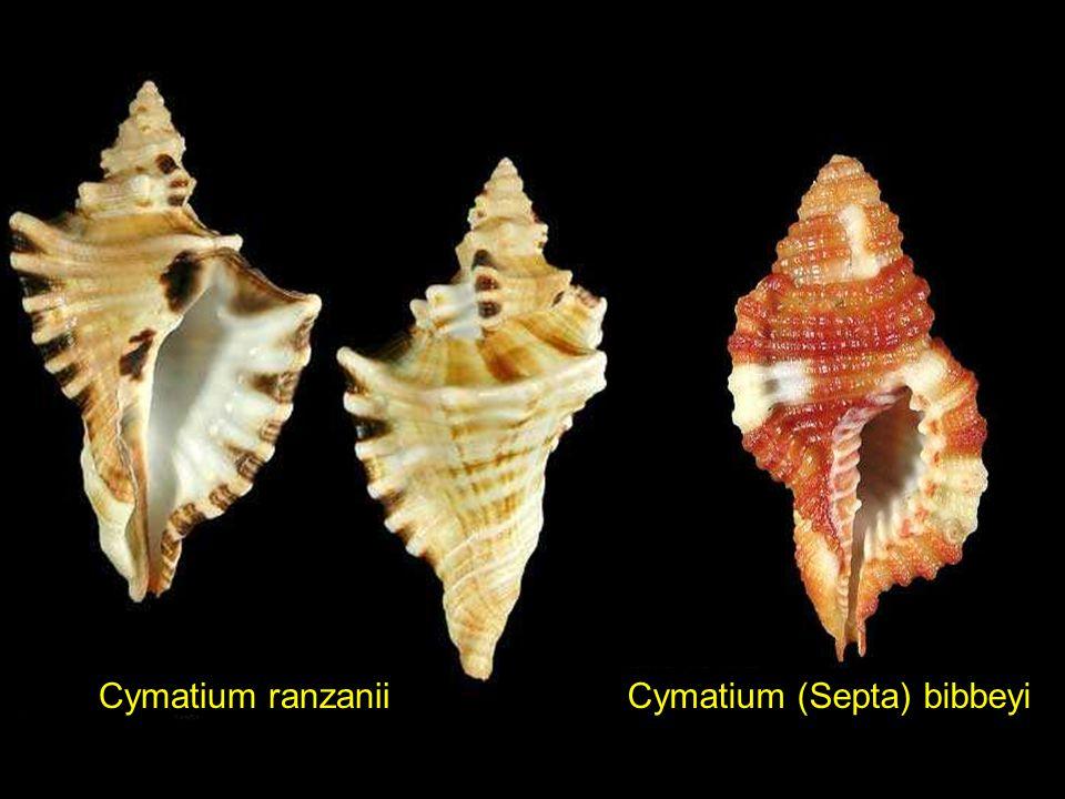 Cymatium (Septa) hepaticum Cymatium (Lotoria) Coroniscala magellanica