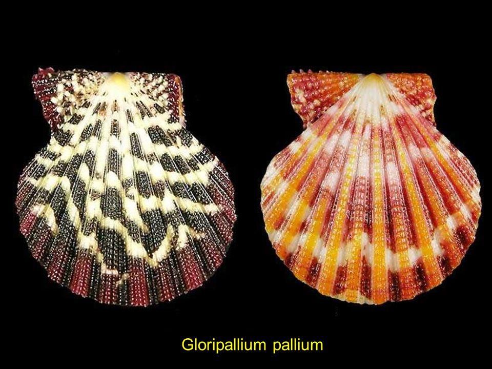Cymbiola imperialis BLACKEpitonium philippinarium