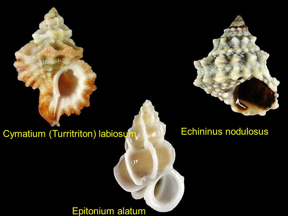 Cymbiola aulica Diloma suavis