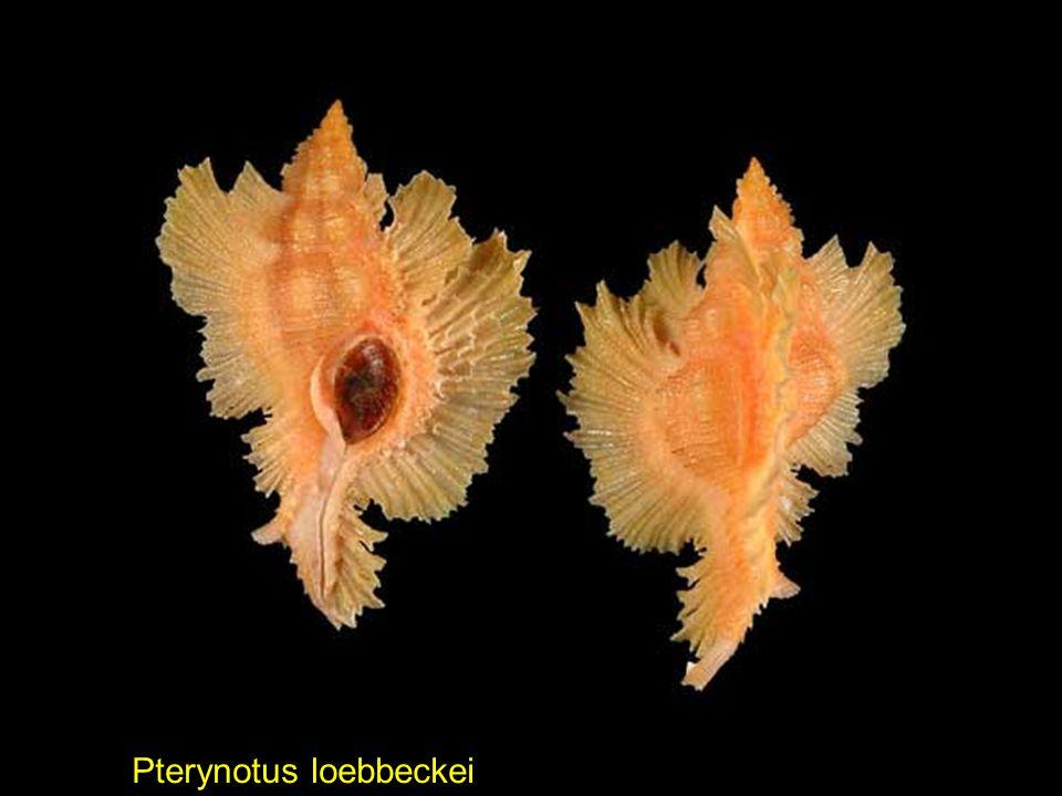 Epitonium alatum Cymatium (Turritriton) labiosum Echininus nodulosus