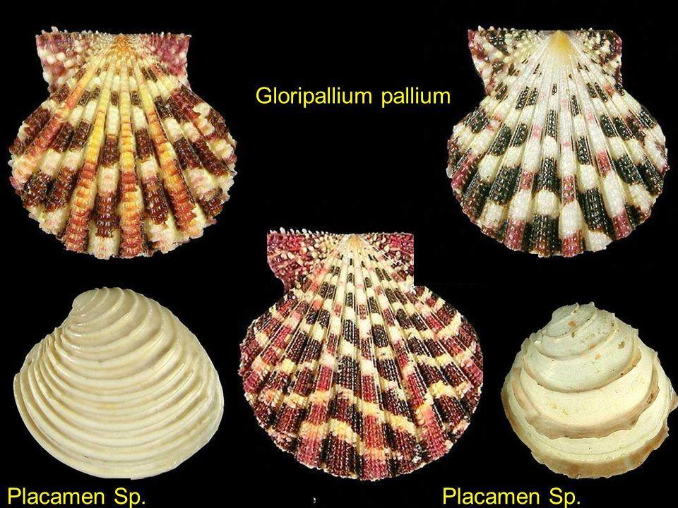 Epidendrium aureum Gemmula lisajoni
