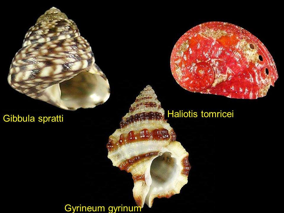 Gloripallium pallium Placamen Sp.