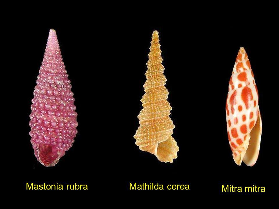 Latirus lautus Littorina mariae Littorina nigrolineataLittorina scabra