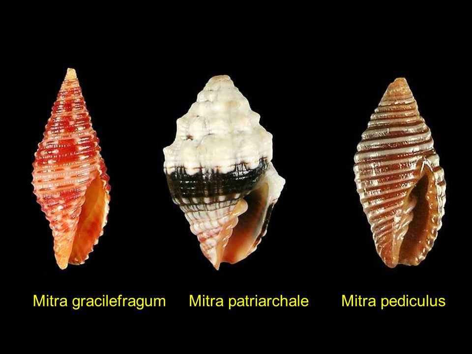 Mirapecten mirificus Mimachlamys sanguinea Mimachlamys asperrima