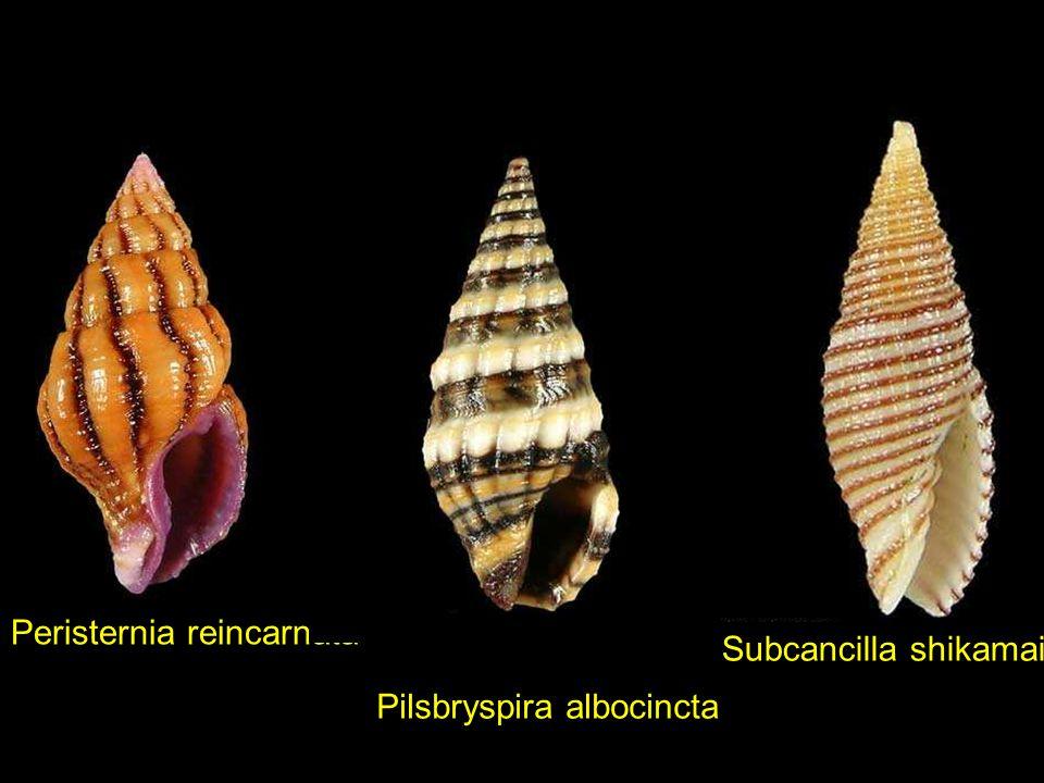 Mitra cucumerinaNassarius pauperusPeristernia philberti