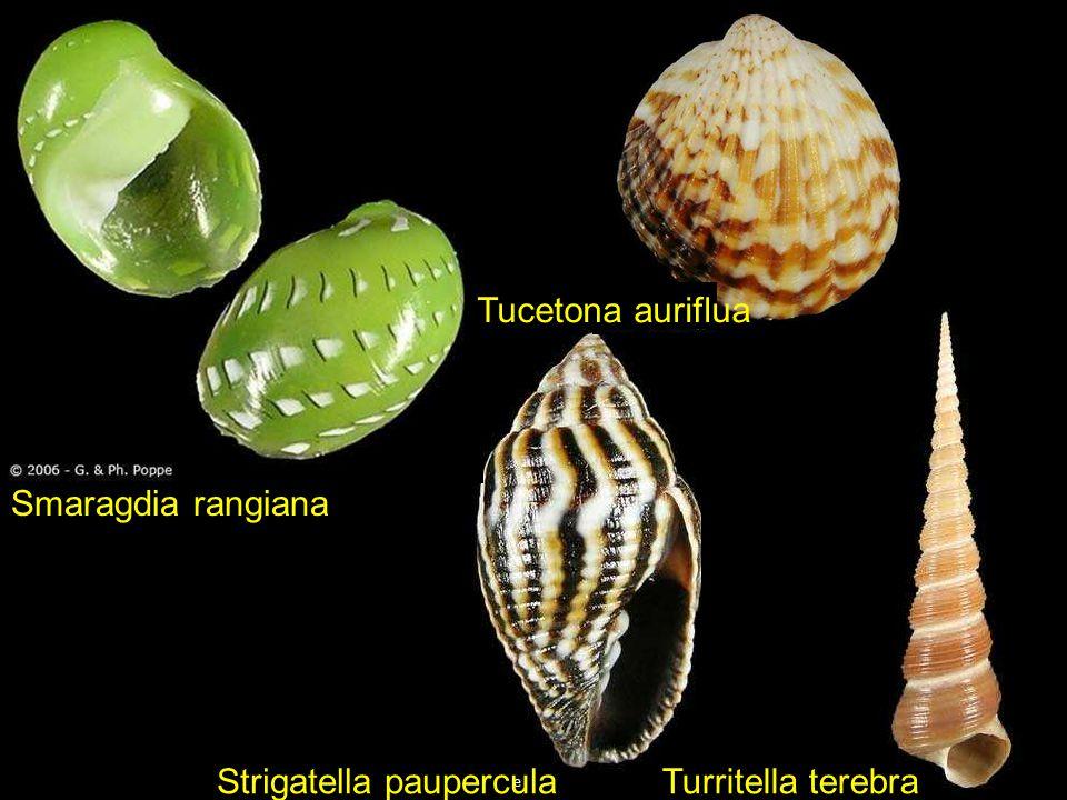 Pilsbryspira albocincta Subcancilla shikamai Peristernia reincarnata