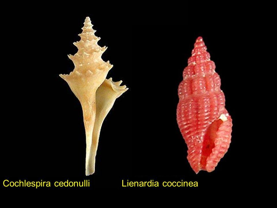 Lienardia speciesVexillum vulpecula