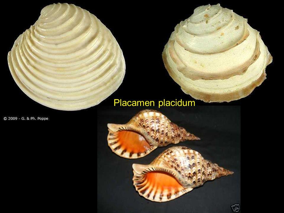 Spirula spirula Nassarius SP Semipallium flavicans Tectarius muricatus