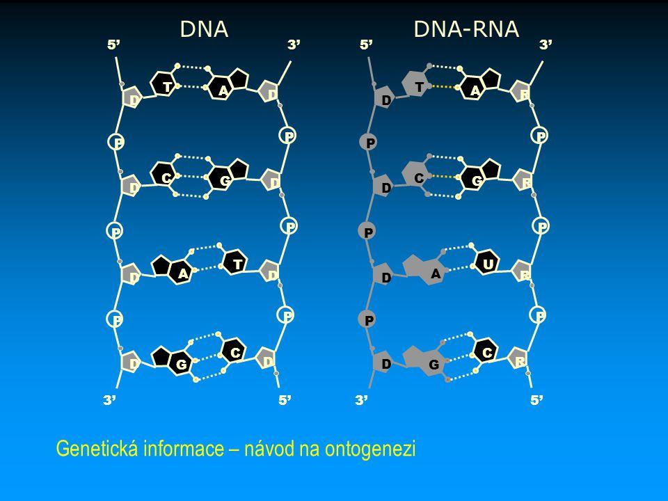 D P P P P P P D D D R R R R C C G G A A T U 5'3' 5'3' D P P P P P P D D D D D D D C C G G A A T T 5'3' 5'3' DNADNA-RNA Genetická informace – návod na
