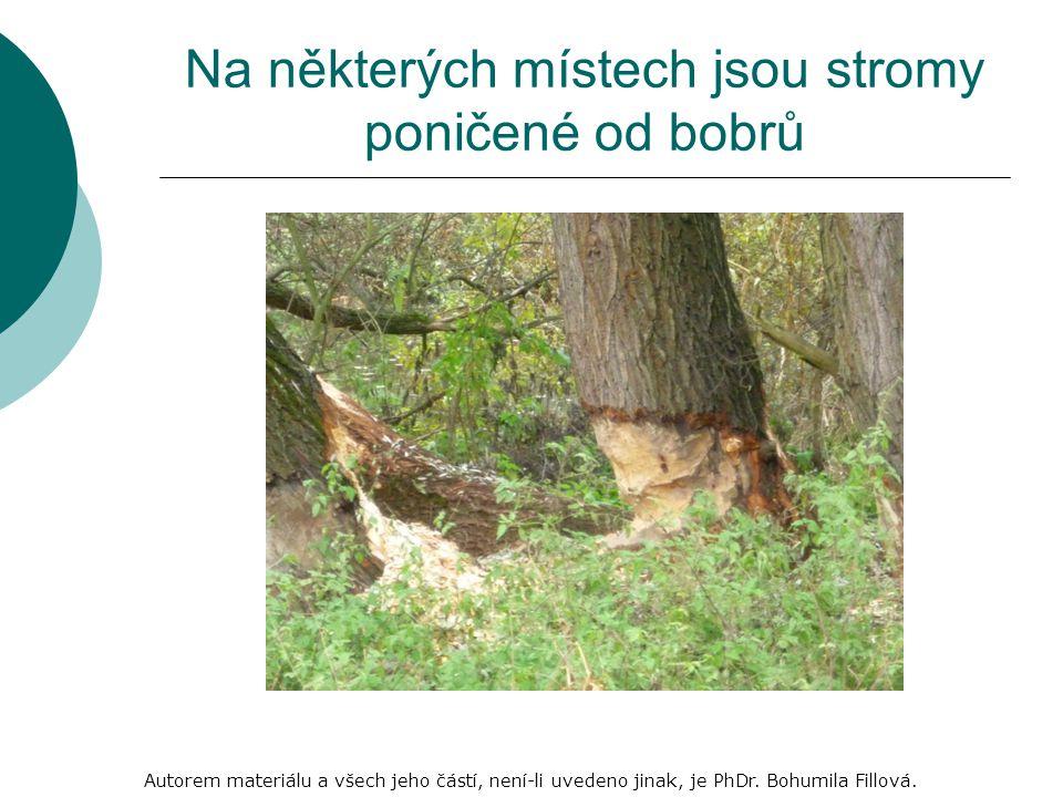 Na některých místech jsou stromy poničené od bobrů Autorem materiálu a všech jeho částí, není-li uvedeno jinak, je PhDr.