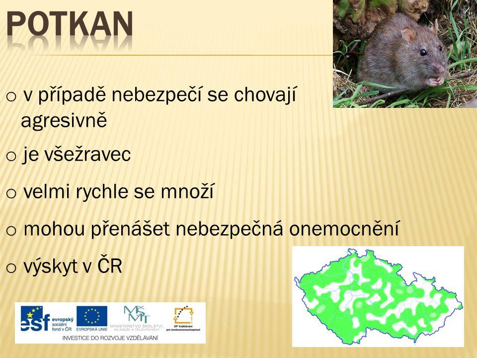 o v případě nebezpečí se chovají agresivně o je všežravec o velmi rychle se množí o výskyt v ČR o mohou přenášet nebezpečná onemocnění