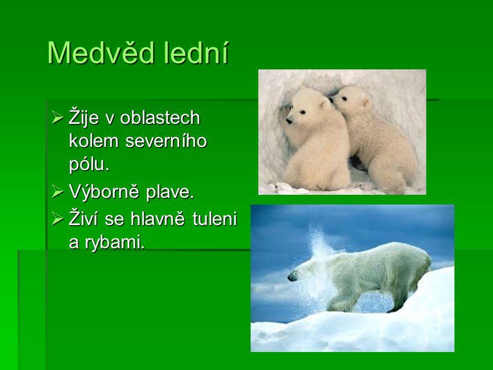 Medvěd lední Medvěd lední  Žije v oblastech kolem severního pólu.  Výborně plave.  Živí se hlavně tuleni a rybami.