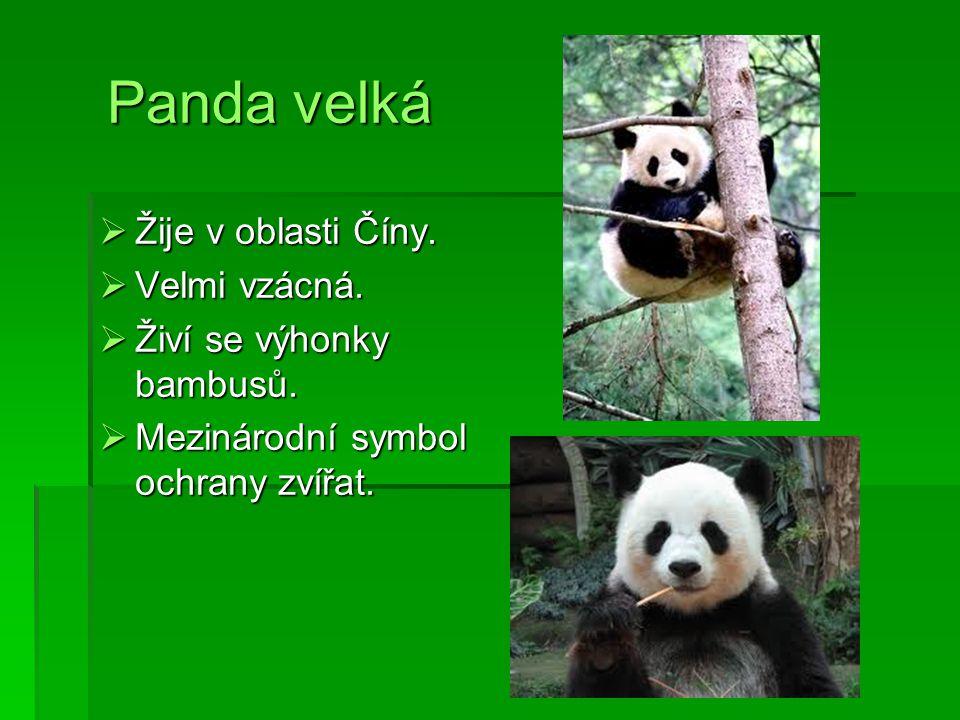 Panda velká Panda velká  Žije v oblasti Číny.  Velmi vzácná.  Živí se výhonky bambusů.  Mezinárodní symbol ochrany zvířat.