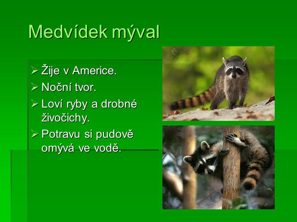 Medvídek mýval Medvídek mýval  Žije v Americe.  Noční tvor.  Loví ryby a drobné živočichy.  Potravu si pudově omývá ve vodě.