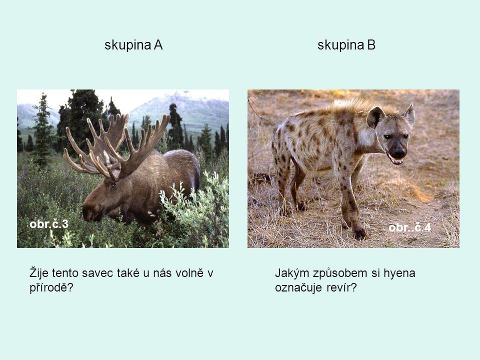 skupina A skupina B obr.č.3 obr..č.4 Žije tento savec také u nás volně v přírodě? Jakým způsobem si hyena označuje revír?