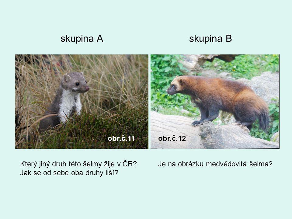 skupina A skupina B obr.č.11obr.č.12 Který jiný druh této šelmy žije v ČR? Jak se od sebe oba druhy liší? Je na obrázku medvědovitá šelma?